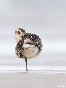Der einzige Kiebitzregenpfeifer in meinem Urlaub auf Helgoland. Gänzlich fehlten aber Knutt und Pfuhlschnepfe.