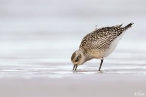 Warum beide Füße nass machen? Ohne Wind kann man auch bequem auf einem Bein hüpfen. Von Kiebitzregenpfeifern können Naturfotografen lernen!