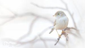 Wüstengrasmücke