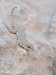 Semaphore Gecko