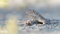 Acanthodactylus blanfordii