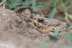 Dhofarkröte Dhofar toad Duttaphrynus dhufarensis
